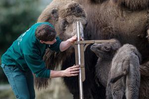 Kamelmätning på ett zoo i Hamburg. Foto: Maja Hitij/TT