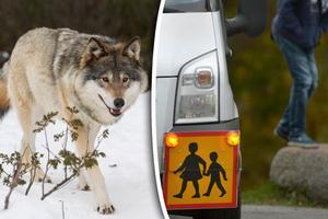 Landsbygdspartiet vill att kommunerna ser över sina regler för skolskjuts så att barn inte riskerar att träffa på varg till och från skolan. Bild: Heiko Junge/TT / Janerik Henriksson/TT