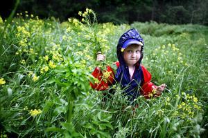 En häftig regnskur i går eftermiddag stoppade inte Freja Wässman, 6 år , från att plocka blommor till midsommarstången vid Anundshög 2006. Foto: Anders Forngren/VLT:s arkiv