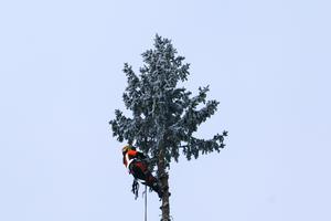 Till toppen har Åsa Edvardsson klättrat för att såga grenarna.