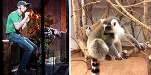 Henrik Ludvigsson är glad över att kunna öppna Kungsbyns djurpark igen. Lemurerna har bott kvar medan djurparken har varit stängt.  Fotograf: Sara Linder/Kenneth Hudd