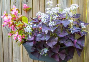 Berit övervintrar både begonia och oxalis, även kallad lyckoklöver. Den finns med röda blad och vita blommor...