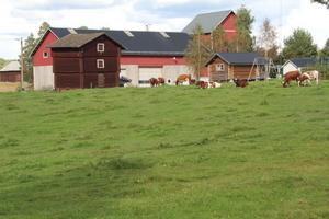 I dag har Jon-Lars i Svedja ett 50-tal djur. Gårdens mjölkproduktion ligger på 157 ton per år. Men i början av nästa år går man över till köttproduktion.