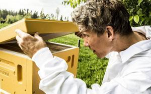 I dag är Pedro ute och kollar så att bina har tillräckligt många ramar att bygga på, skulle de ha för få kommer de att ge sig av.    – Man måste se till att de har att arbeta med annars kommer drottningen ta halva bistyrkan och börja svärma, och leta efter en ny boplats. Det vill man undvika.