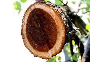 Det svarta svampangreppet varslar om att trädet drabbats av almsjuka.