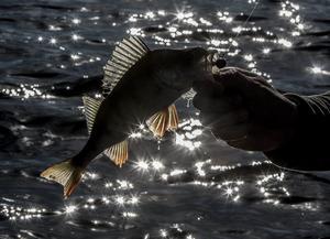 Motljus,silhuett,fiskfenor – Klassisk silhuettbild som jag är svag för. Vackra fenor och mycket sommar.