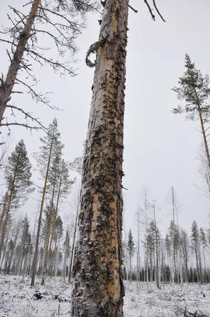 Här har en maskin skadat barken men inte lyckats lika bra eftersom det gjorts på flera ställen och skurit av trädets nervtrådar. Att skada en tall med yxa eller motorsåg är därför bättre.