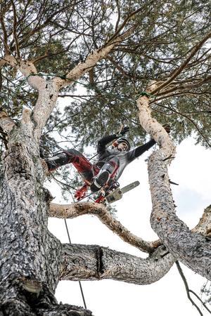 – Jag älskar att klättra, men det där ger jag mig inte på, säger Therese Kanon Oskarsson när hon ser Sven Kisch med motorsåg vant svinga sig mellan stammarna på hennes dubbeltall som nu avverkas.