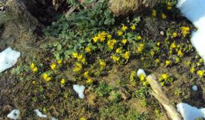 Vintergäcken blommar på Tjädervägen.