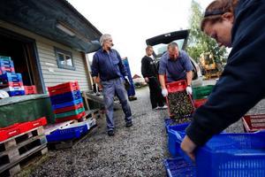 Ruljansen är i full gång hos bäruppköparen Åke Rudin i Bräcke. Här levererar polackerna Andrzej Kazmierowicz                och dottern Marta dagens skörd.