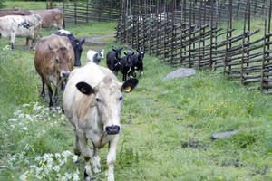 16 mjölkkor och ett antal kalvar och kvigor fick komma till sitt sommarbete på Svedbovallen. Bland dem fanns kon som prinsessan Madeleine döpte till Malin förra sommaren. I april fick Malin en tjurkalv. Kon som prinsessan Viktoria döpte till Lisa bor numera hos ett par i Järvsö.