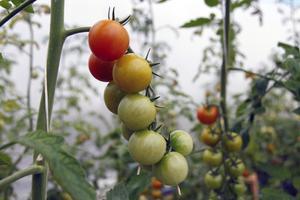 För några veckor sedan skördades den första tomaten.