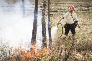 Vissa av träden dör av bränningen. Men de flesta överlever – och de blir starkare. Effekten kan liknas vid impregnering av trä.