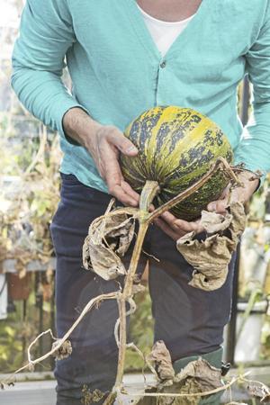 Nakenfröpumpan frodas i septembersolen. Det är från såna man får ätliga pumpafrön.
