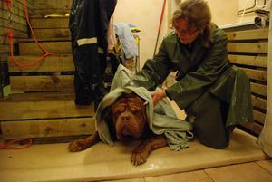Caesar ser ut att trivas medan Malin frotterar honom med en handduk.