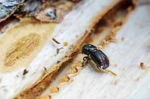 En branbarksborre blir bara 5 millimeter lång. Men granbarksborrar skadade 320 000 kubikmeter skog i Örebro län under förra året. (Bild: Evelina Ytterbom)