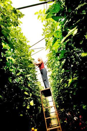 JULI. Växer så det knakar.För 15 år sedan började Lisbeth Wilhelmson att odla grönsaker på sin gård i Storvik. Nu driver hon gårdsförsäljning. Den 23 juli när Arbetarbladet var på besök var tomaterna populära.Intresset för lokalproducerad och ekologisk mat växer och allt fler vill odla själva, berättade Lisbeth.FOTO: David Holmqvist