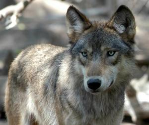 Många observationer av vargar har rapporterats in under den senaste tiden.