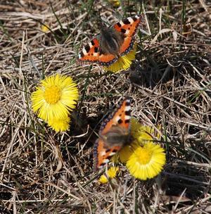 Tussilago och fjärilar, då är det vår! Foto: Mikael Bergquist