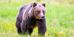Ida Ingemarsdotter berättar om björnmöten.
