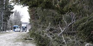 Stormen Alfrida rev ner många träd för en vecka sedan. Nu kommer nya kraftiga vindar. Foto: TT/ARKIV