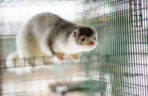 Det tas tester på minkar från olika minkfarmer i Sverige.