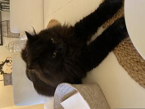Morris älskar att ligga på bordet trots att han inte får. Han är en storväxt blandras men långa ben! Bild: Lena Jangren