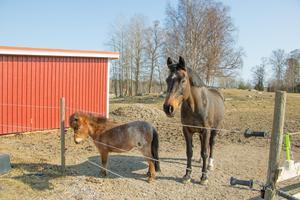 Liten och stor. På gården i Ubby finns också ett halvblod som går tillsammans med miniatyrhästarna.