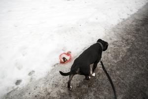 Genrebild. Förstår du inte att ta hand om hundbajset är du inte kvalificerad att ta hand om en hund överhuvudtaget, skriver Ålli.