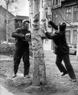 Det här är Kurt Nordström och Bo Sjölander. De tog ner björkar längs Rådhusgatan 1971.