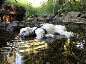 Varför stå upp när man kan  ligga och dricka vatten. Hunden heter Sessan. Foto: Ronja Berlin