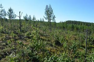 Positiv utveckling i Jämtland trots fortsatt stora betesskador i Norra Sverige. Foto: Sveaskog