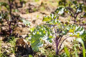 Purpurkål är en riktigt bra grönsak, tycker både Dan och Josefine. Den är som grönkål, men drar åt det lila hållet.