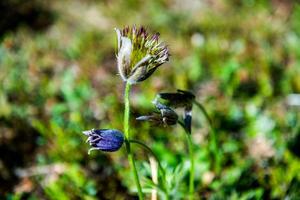 Nipsippor på väg att blomma ut.
