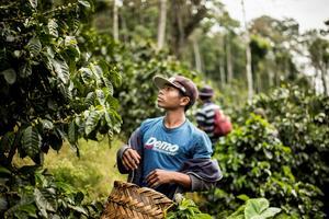 Miguel Hernandez, anställd kaffeplockare, i Matagalpa, Nicaragua. Kaffebönder i Latinamerika har varnat för att de utegångsförbud som införts för att begränsa coronasmitta riskerar säsongens kaffeskörd.