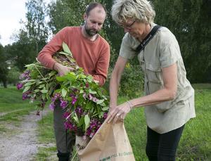 Den är inte giftig men det är viktigt att jättebalsaminen läggs i sopsäckar för att inte frön och stjälkdelar sprids.