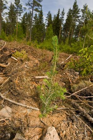 Lettiska arbetare planterar trädplantor på ett kalhygge i Sverige. Foto: Mikael Fritzon / SCANPIX