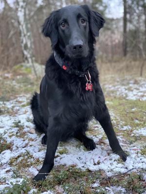 Om bilden: Här är Alfons 1 år på vinterpromenad och undrar liksom matte vart snön har tagit vägen....? Alfons är en Flatcoated retreiver full av liv och rörelse och behöver mycket motion! Foto: Annica Kjellsson