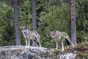 Det är en stor skandal att Naturvårdsverket år efter år vägrar tillämpa bästa tillgängliga kunskap när det gäller att uppskatta hur många vargarna är. Och det blir värre ju längre det pågår, skriver Styrelsen Nordulv i sin insändare. Foto: Paul Kleiven/TT