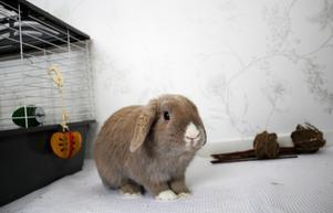Kaninen Nogger går fritt i lägenheten.