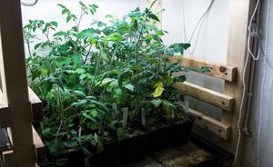 Tomatplantorna är flera decimeter höga – sticklingar som övervintrat i garaget.