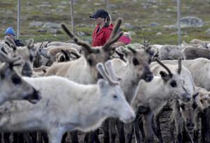 Jannie Staffansson bor numera i Jokkmokk men när det är dags för kalvmärkning så finns hon på plats i Idre.