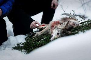 En av de sex fällda vargarna i Flatenreviret var hårt angripen av skabb. Den vargen räknas av och därmed återstår ytterligare en varg i tilldelningen.