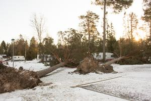 Nedfallna furor på Björkö Örns campingplats.