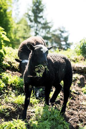 En liten flock Gotlandsfår har funnits på gården länge, men det finns inte tillräckligt med mark för att hålla många.