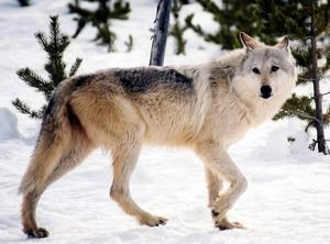 En varg. AP Photo/National Park Service, MacNeil Lyons, File)