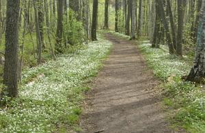 Järnaskogen om våren, när vitsipporna blommar.