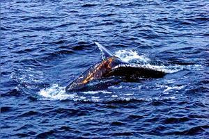Knölvalen som syntes öster om Hudiksvall kan ha tillbringat vintern i dessa farvatten tror valforskare vid Naturhistoriska riksmuseet.
