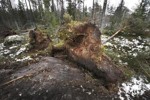 Stora rotvältor ligger i Marianne och Hans Johanssons skog på Rådmansö.