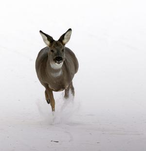 Västernorrlands rådjur har en riktigt tuff vinter. Mata gärna, men med rotfrukter och ensilage, inte hö. Foto: Tor Richardsen  SCANPIX